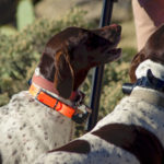 Dogs in field with Beeper collars