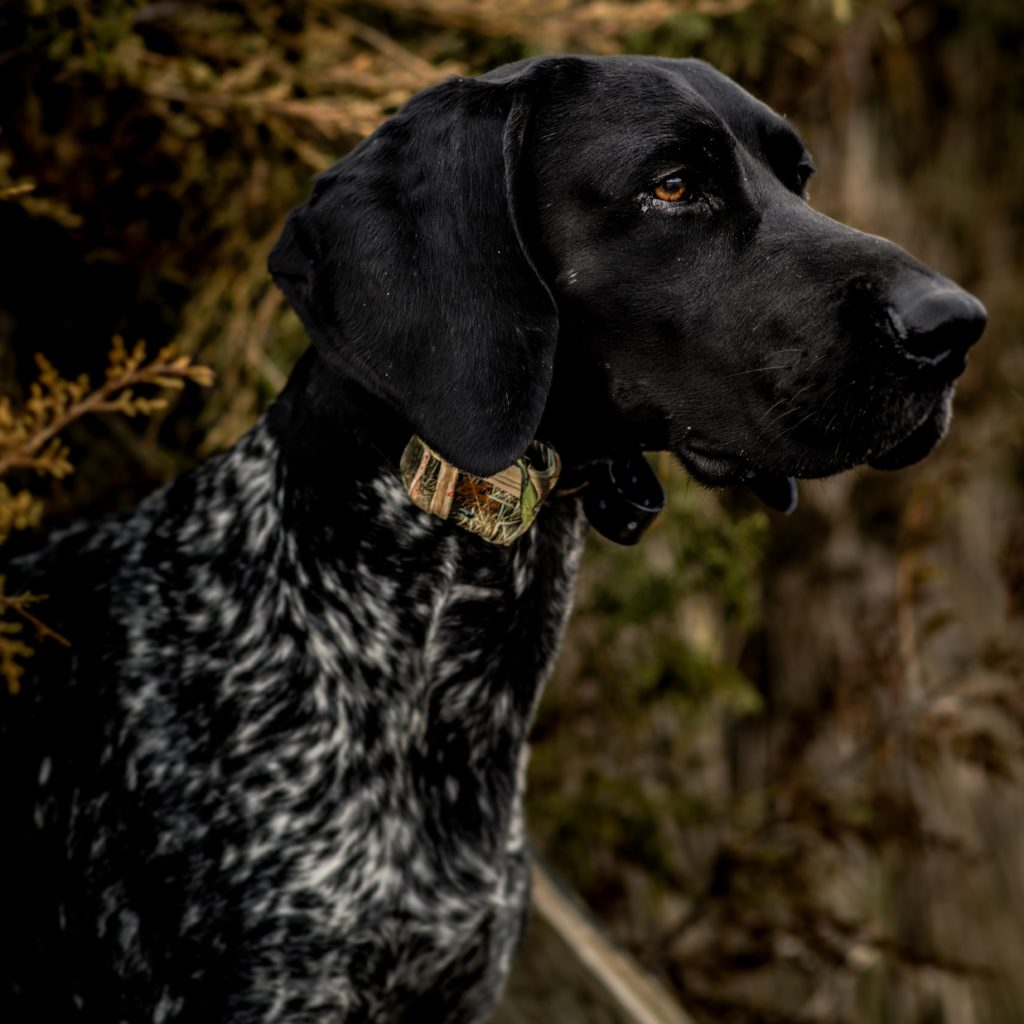 MR 1100 Camo collar on GSP