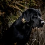 MR 1100 Camo collar on Lab